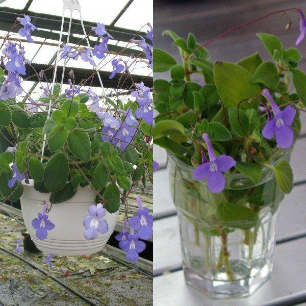 Особенности выращивания стрептокарпусов 8