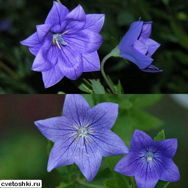 Цветок колокольчик японский