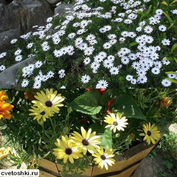 Неприхотливые однолетники без рассады цветущие все лето 82