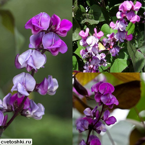 dekorativnaya-fasol (2)