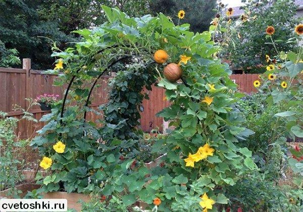 Плетистая тыква выращивание 85