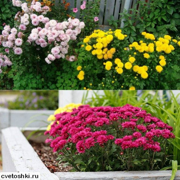 Хризантема корейская