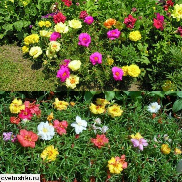 Фото однолетних цветов которые цветут всё лето 63