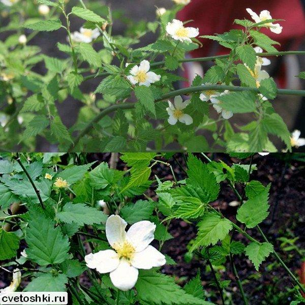 Albiflora (1)