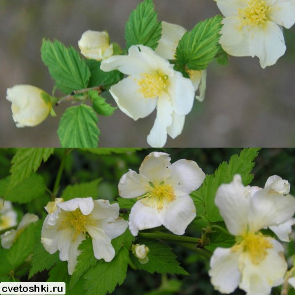 Albiflora (2)