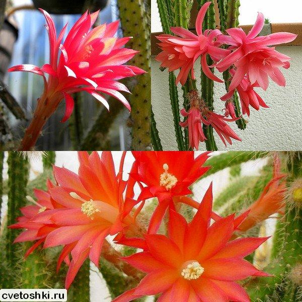 Aporocactus conzattii (1)