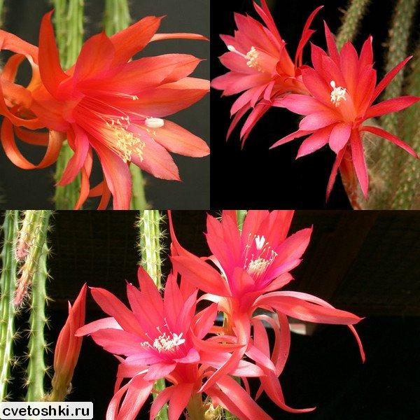Aporocactus conzattii (2)