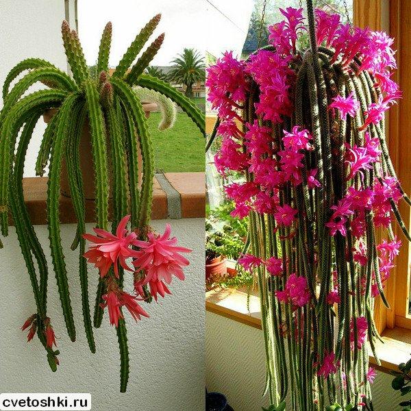 Aporocactus flagelliformis (1)