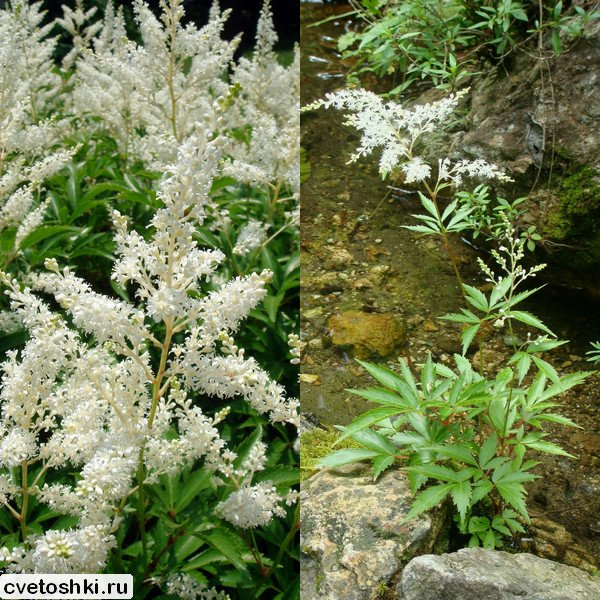 Astilbe japonica (1)