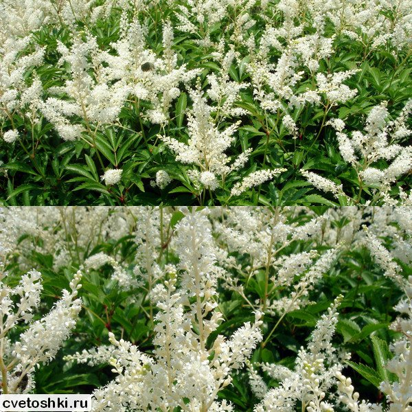 Astilbe japonica (3)