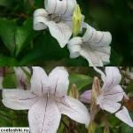 Asystasia bella (2)