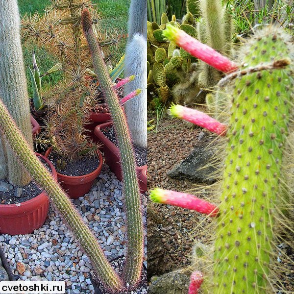 Cleistocactus smaragdiflorus (2)
