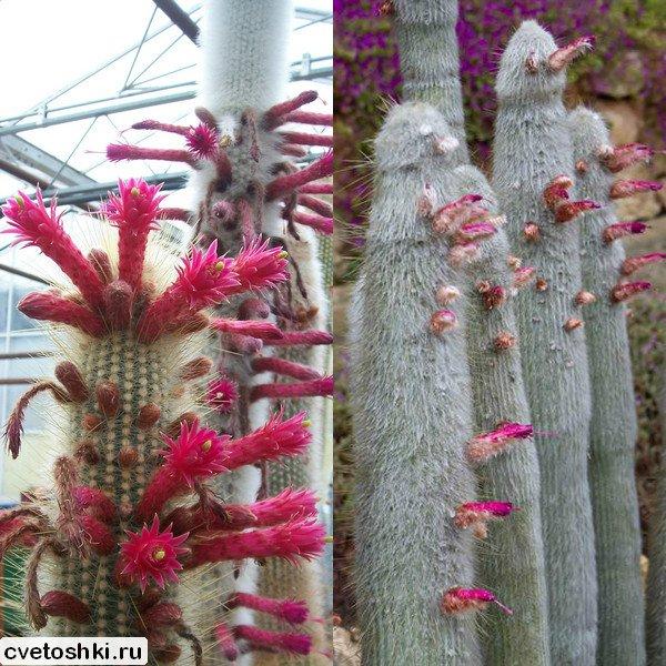 Cleistocactus strausii (2)