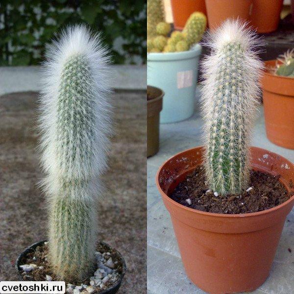 Cleistocactus strausii (3)