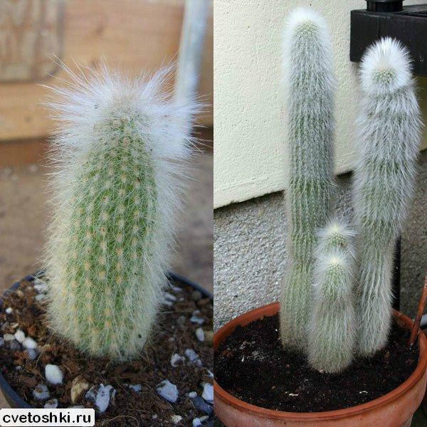 Cleistocactus strausii (4)