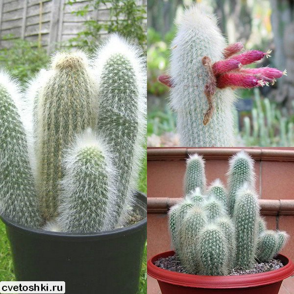 Cleistocactus strausii (8)