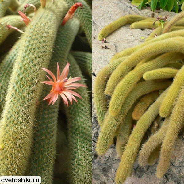 Cleistocactus winteri (1)