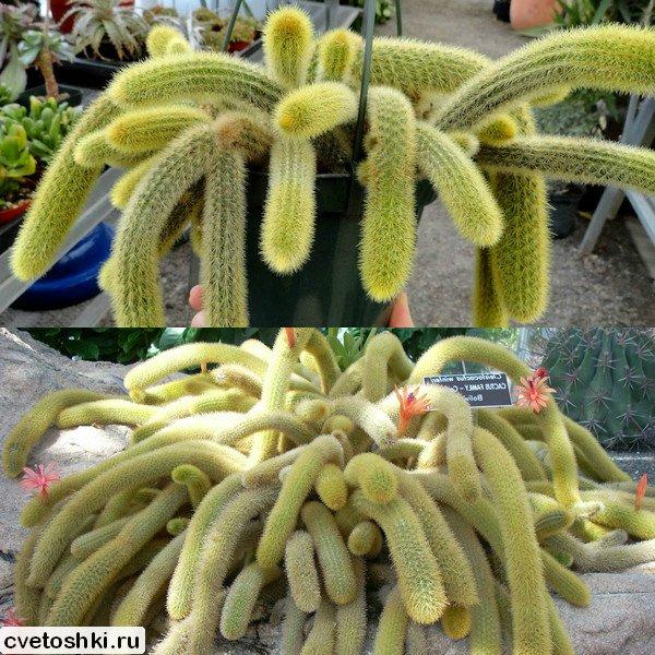 Cleistocactus winteri (3)
