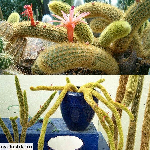 Cleistocactus winteri (4)
