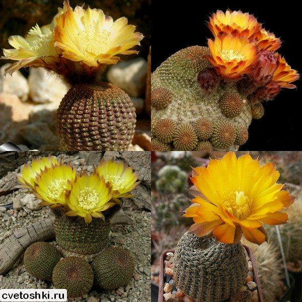 Lobivia famatimensis (2)