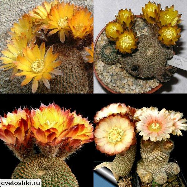 Lobivia famatimensis (3)