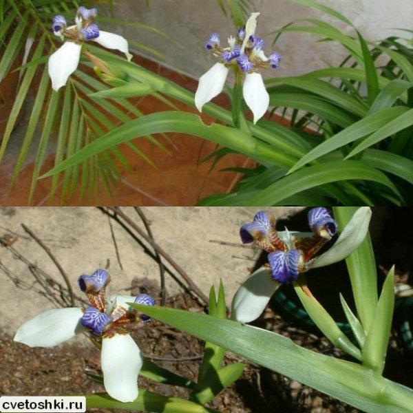 Neomarica northiana (1)