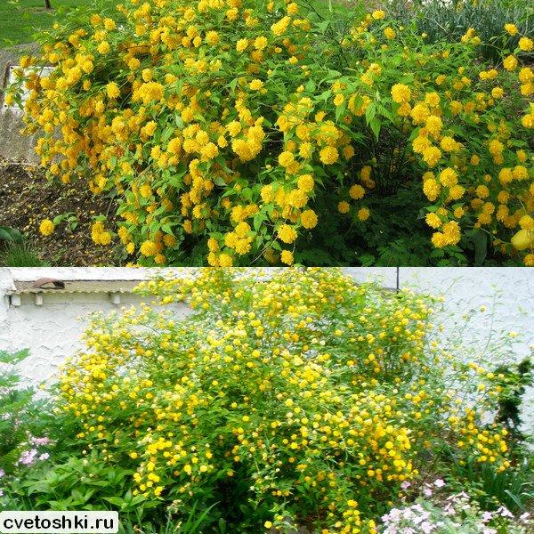 Pleniflora (3)