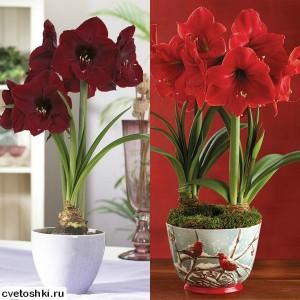Амариллис уход в домашних условиях почему не цветет