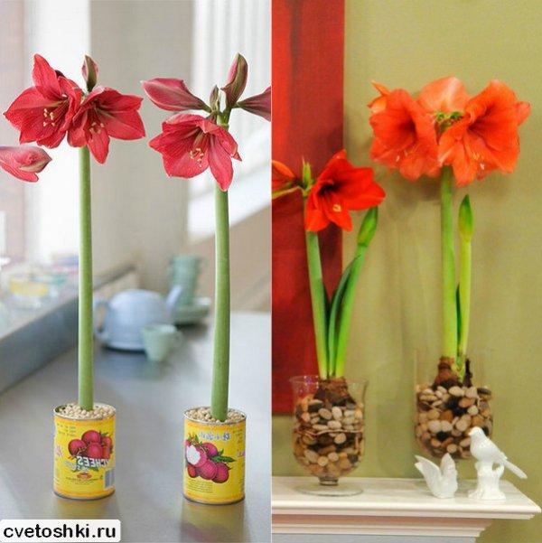 cvetok-amarillis (3)