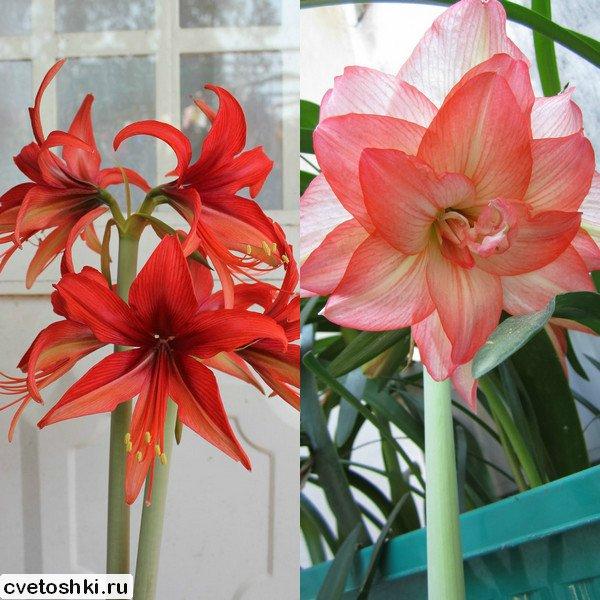 cvetok-amarillis (7)