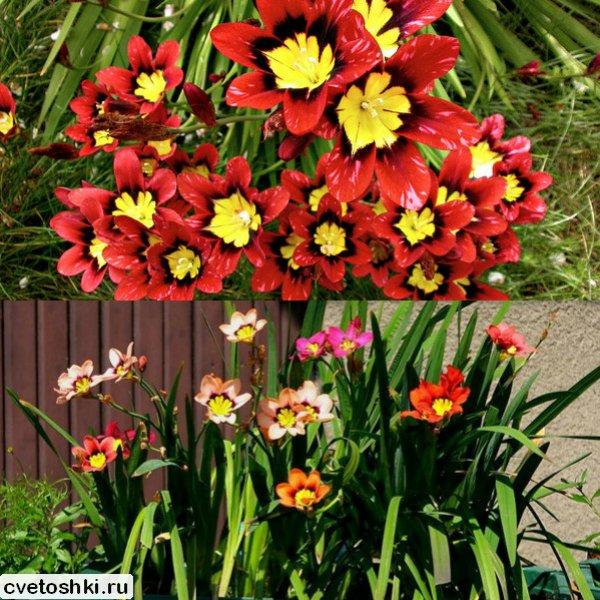 cvety-sparaksis (11)