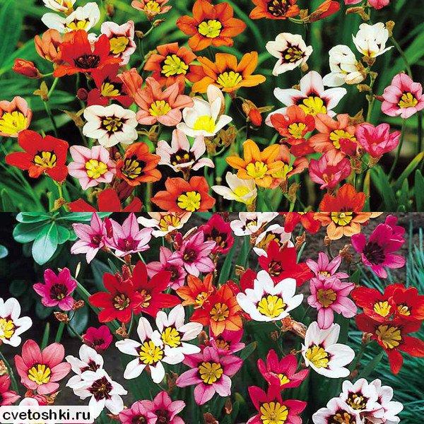 цветы спараксис