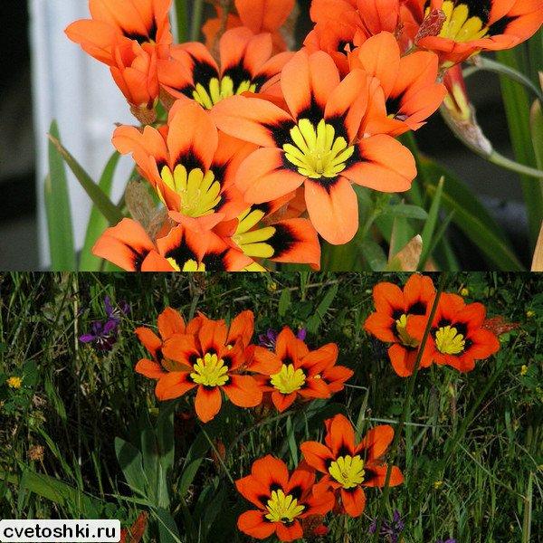 cvety-sparaksis (6)