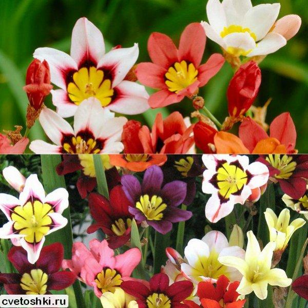 cvety-sparaksis (8)