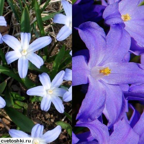 Хионодокс цветок посадка