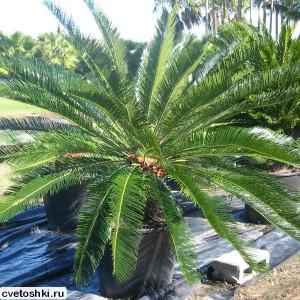 palma-cikas (14)
