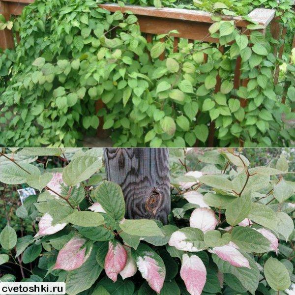 Актинидия выращивание и уход в сибири 72