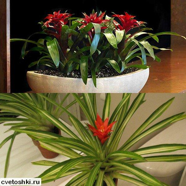 Уход за цветами в домашних условиях гузмания 160