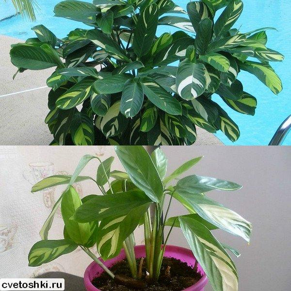 Ctenanthe lubbersiana (1)