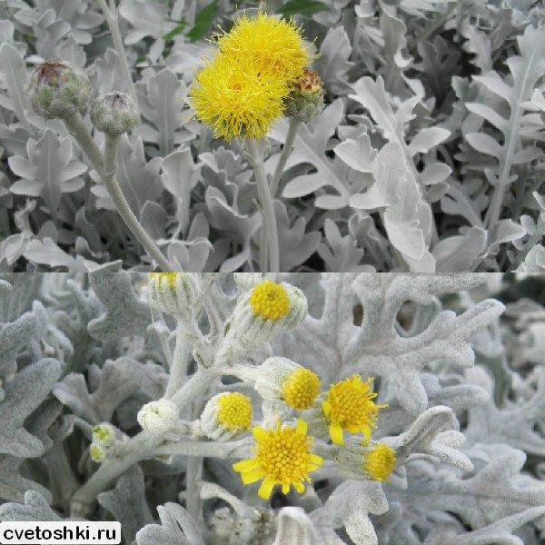 cinerariya-serebristaya (7)