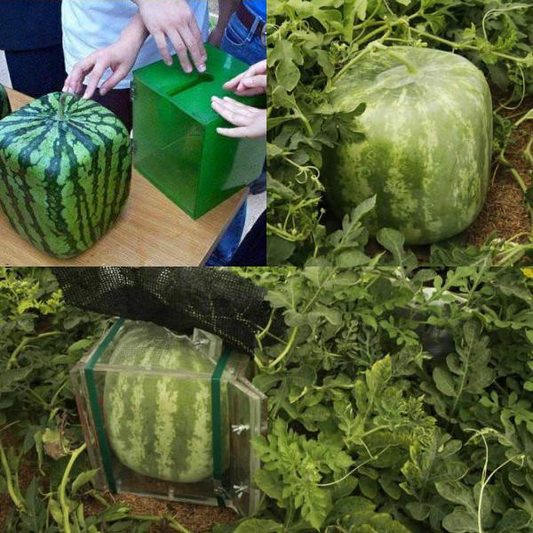 Про арбузы выращивание 20