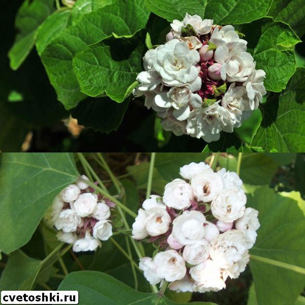 clerodendrum-philippinum-2
