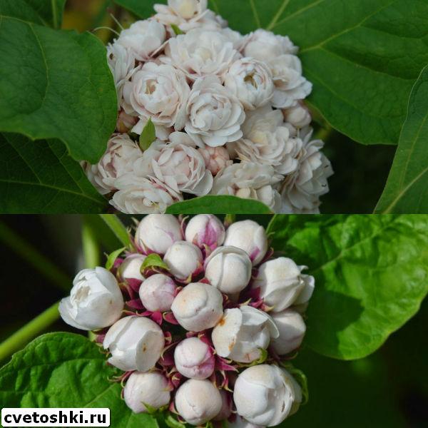 clerodendrum-philippinum-4
