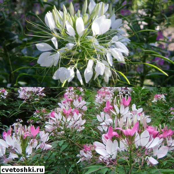 cleome-helen-campbell-4