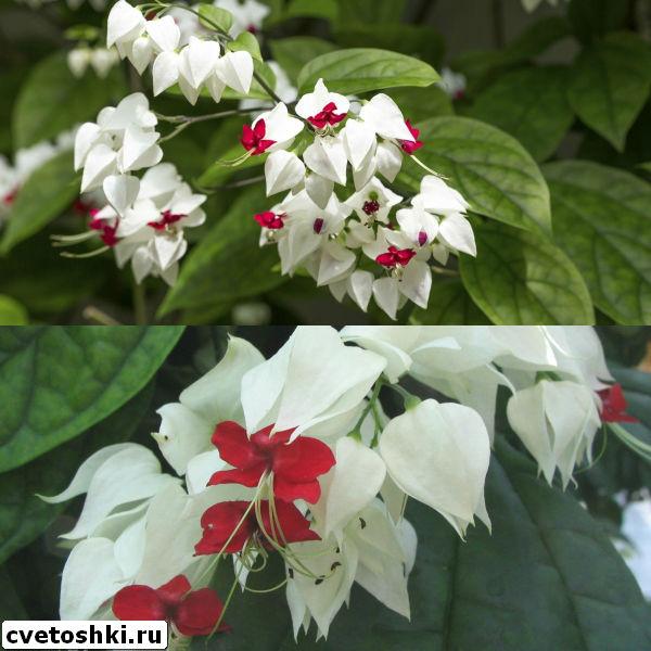 clerodendrum-thomsoniae-8