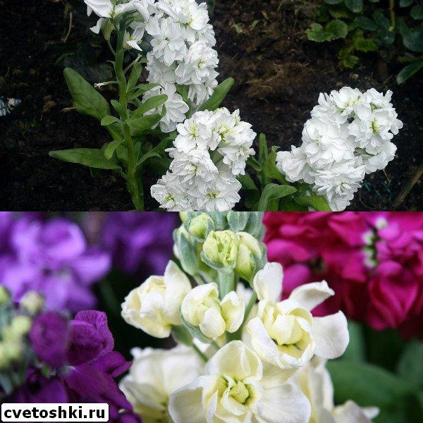 Цветок с молочком 27