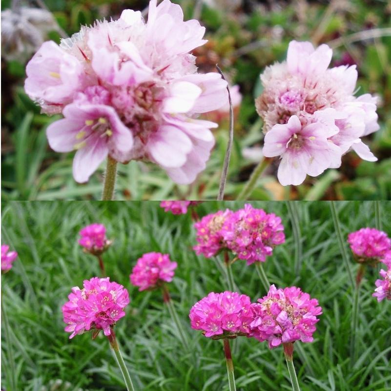 красивые цветы армерия
