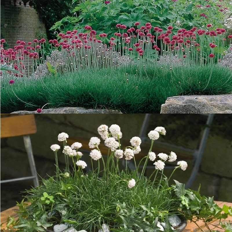 фото цветок армерия
