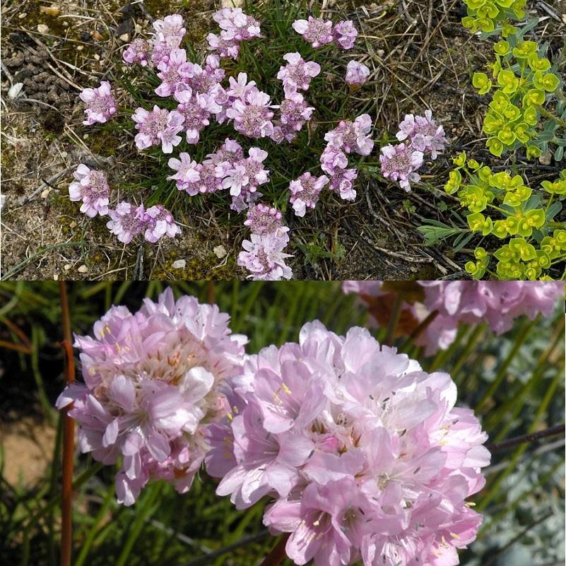 розовая альпийская армерия на фото