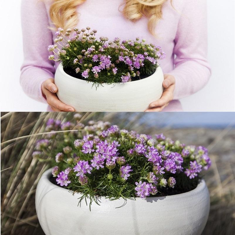 цветы армерия в горшке